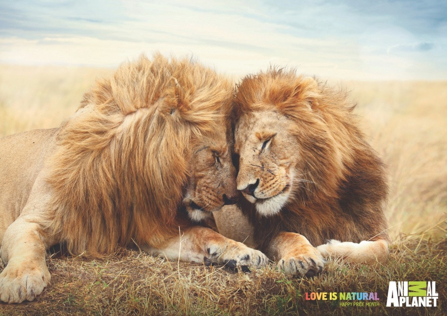 animalplanet_pride_lions_thumb